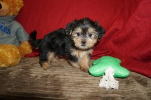 Sparky Male CKC Shorkie $1750 Ready 5/19 SOLD MY NEW HOME FLEMING ISLAND, FL 2.2 lbs 7W1D Old