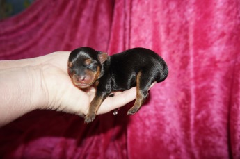 Trudy Female Yorkie $1750 Ready 7/10 AVAILABLE 4.8OZ Just Born