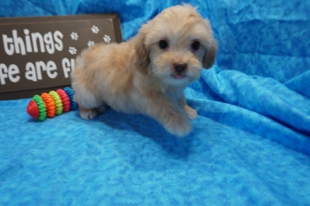 Sold Anabella Most Lovable Apricot Female Ckc Maltipoo With