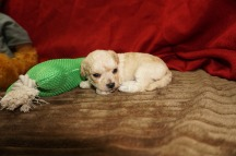 Android Male CKC Maltipoo $1750 Ready 6/16 HAS DEPOSIT MY NEW HOME FREDERICKSBURG, VA 15 oz 3 Wks old