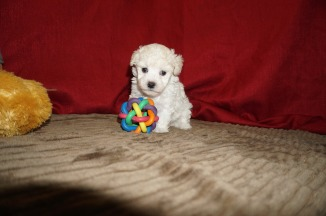 Beethoven Male CKC Maltipoo $1750 Ready 5/31 SOLD MY NEW HOME TAMPA, FL 1.10 lbs 5W3D Old