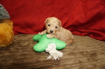 Cricket Male CKC Maltipoo $1750 Ready 6/16 HAS DEPOSIT MY NEW HOME ST SIMON ISLAND, GA 14 oz 3 Wks old (