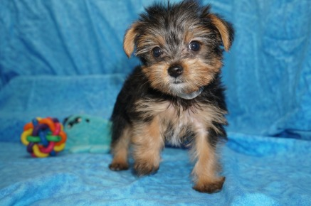 Fantasia Female CKC Yorkie $1750 Ready 7/11 HAS DEPOSIT MY NEW HOME MELBOURNE, FL 1.10 lbs 7W6D Old