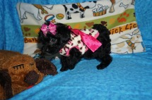 Lucy Female CKC Havapoo $1750 Ready 6/6 HAS DEPOSIT MY NEW HOME MILWAUKEE, WI 1.6 lbs 7 wks old