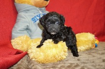 Lucy Female CKC Havapoo $1750 Ready 6/6 HAS DEPOSIT MY NEW HOME MILWAUKEE, WI 1.4 lbs 5 wks old