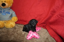 Sally Female CKC Havapoo $1750 Ready 6/6 AVAILABLE 1.3 lbs 5 wks old