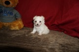 Giggles Female CKC Maltipoo $2000 Ready 5/31 HAS DEPOSIT MY NEW HOME ORANGE PARK, FL 14 oz 5W3D Old