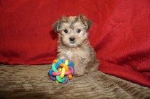 Smokey Male CKC Shorkie $1750 Ready 5/19 SOLD MY NEW HOME JACKSONVILLE, FL 2.9 lbs 7W1D Old