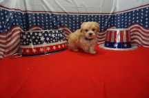 Daisy Female CKC Maltipoo $1750 Ready 7/4 HAS DEPOSIT MY NEW HOME PONTE VEDRA BEACH, FL 1.7 LBS 6WK4D OLD