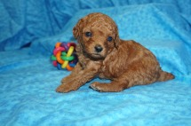 Daphne Female CKC Mini Labradoodle $2000 READY 8/2 SOLD MY NEW HOME ORLANDO, FL 1.6 lbs 4 Weeks old