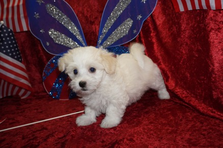 Galaxy Male CKC Havanese $1750 Ready 6/15 SOLD MY NEW HOME PALM COAST, FL 2.7 lbs 7W3D Old