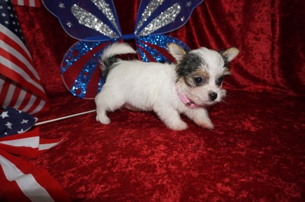 Gigabyte Female CKC Havashire $1750 Ready 6/13 SOLD MY NEW HOME JACKSONVILLE, FL 1.4 lbs 7W4D Old