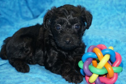 Hersheys Female CKC Yorkipoo $1750 Ready 7/27 SOLD MY NEW HOME JACKSONVILLE, FL 1.15 lbs 5W3D Old