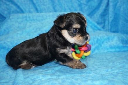 Kermit Male T-Cup Yorkie $2000 Ready 8/2 HAS DEPOSIT MY NEW HOME LAKELAND, FL 1.6 lbs 4 Wks Old