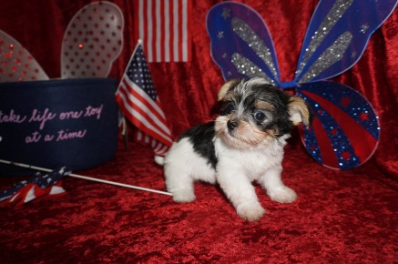 Kilobytes Male CKC Havashire $1750 Ready 6/13 SOLD 1.4 lbs 6 weeks old