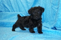 Kisses Female CKC Yorkipoo $1750 Ready 7/27 SOLD MY NEW HOME BABYLON, NY 2 lbs 5W3D Old