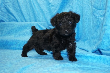 Kisses Female CKC Yorkipoo $1750 Ready 7/27 HAS DEPOSIT MY NEW HOME BABYLON, NY 2 lbs 5W3D Old