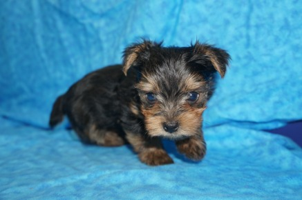 Mario Male CKC Yorkie $2000 Ready 7/25 AVAILABLE 1.4 Lbs 5W4D Old