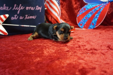Mario Male CKC Yorkie $2000 Ready 7/25 AVAILABLE 12oz 2wk5d old