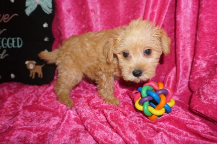 Mercedes Female CKC Schnoodle $1750 Ready 8/2 SOLD MY NEW HOME HILLSBORO, OR 2.15 lbs 7W5D Old