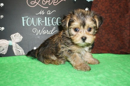 Patter Male CKC Morkie $1750 Ready 8/2 HAS DEPOSIT MY NEW HOME LEBANON, TN 1.6 lbs 7W5D OLD
