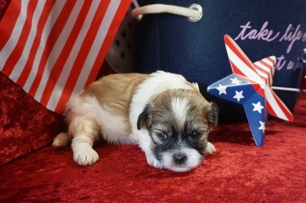 Snickerdoodles Male CKC Malshipoo $1750 Ready 7/18 HAS DEPOSIT MY NEW HOME MARSHALL, MI 1.10 lBS 3 Weeks Old