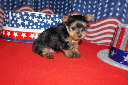 Trudy Female Yorkie $1750 Ready 7/10 SOLD! MY NEW HOME TALLAHASSEE, FL 1.8 lbs 6 Weeks Old