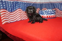 Violet (Tessa) Female CKC Maltipoo $1750 Ready 7/4 HAS DEPOSIT MY NEW HOME SATELLITE Beach 1.8 lbs 6W4D Old