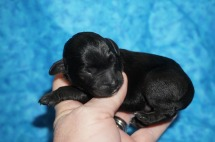 Caddy Male CKC Schnoodle $1750 Ready 8/2 AVAILABLE 6.8 oz JUST BORN