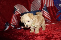 Cricket Male CKC Maltipoo $2000 Ready 6/16 SOLD MY NEW HOME SUMMERFIELD, FL 1.9 Lbs 7W1D old
