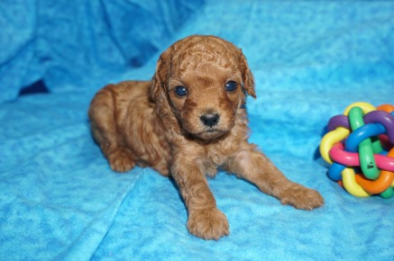 Daphne Female CKC Mini Labradoodle $2000 READY 8/2 HAS DEPOSIT MY NEW HOME ORLANDO, FL 1.6 lbs 4 Weeks old
