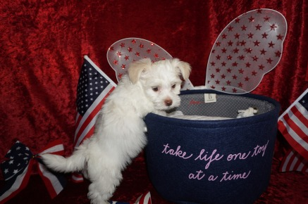 Echo Male CKC Havanese $1750 Ready 6/15 SOLD MY NEW HOME FT McCOY, FL 2.5 lbs 7W3D Old