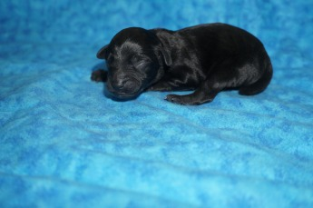 Hummer Male CKC Schnoodle $1750 Ready 8/2 AVAILABLE 5.9 oz JUST BORN