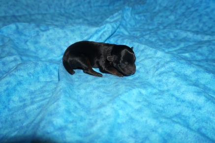 Kisses Female CKC Yorkipoo $1750 Ready 7/27 HAS DEPOSIT MY NEW HOME JACKSONVILLE, FL 5.3 oz 1 Day Old