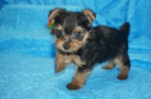 Luigi Male CKC Yorkie $2000 Ready 7/25 SOLD MY NEW HOME JACKSONVILLE, FL 1.5 Lbs 5W4D Old