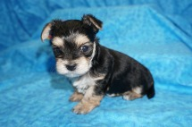 Pitter Male CKC Morkie $1750 Ready 8/2 HAS DEPOSIT MY NEW HOME JACKSONVILLE, FL 1.6 lbs 4W4D OLD