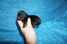 Reeses Male CKC Yorkipoo $1750 Ready 7/27 SOLD 5.3 oz 1 Day Old