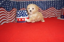 Rosebud (Lyla Pinkey) Female CKC Maltipoo $2000 Ready 7/4 HAS DEPOSIT MY NEW HOME HARLAN, KY 1.5 lbs 6W4D Old