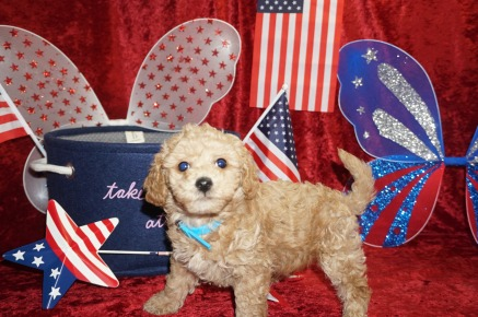 Samsung Male CKC Maltipoo $1750 Ready 6/16 HAS DEPOSIT MY NEW HOME BRANDON, FL 2.12 lbs 7W1D old