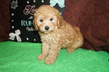 Scooby Doo Male CKC Mini Labradoodle $2000 READY 8/2 SOLD! My new home is in Jacksonville,FL! 2.15 lbs 8 Wks Old
