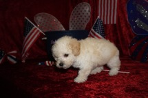 Android Male CKC Maltipoo $1750 Ready 6/16 SOLD MY NEW HOME FREDERICKSBURG, VA 1.14 Lbs 7W1D old