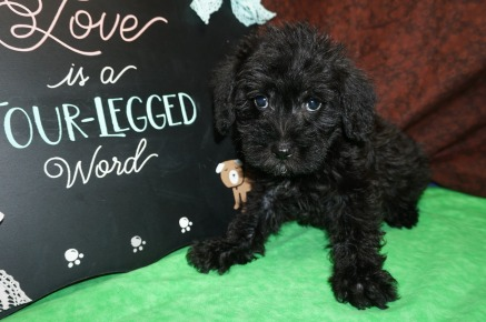 Caddy Male CKC Schnoodle $1750 Ready 8/2 SOLD MY NEW HOME POMPANO BEACH, FL 3.6 lbs 8 Wks Old