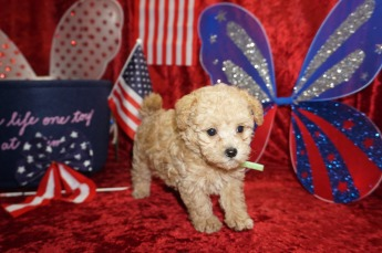 Cricket Male CKC Maltipoo $2000 Ready 6/16 HAS DEPOSIT MY NEW HOME SUMMERFIELD, FL 1.9 Lbs 7W1D old