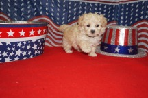Lily (Miller) Female CKC Maltipoo $1750 Ready 7/4 SOLD MY NEW HOME DALTON, GA 1.8 LBS 6W4D old