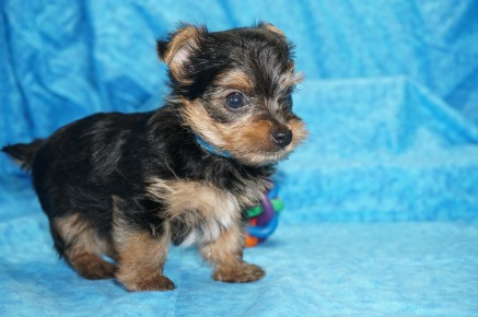 Luigi Male CKC Yorkie $2000 Ready 7/25 SOLD MY NEW HOME JACKSONVILLE, FL 1.2 Lbs 3W4D Old