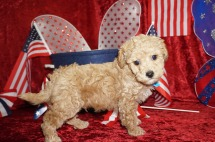 Samsung Male CKC Maltipoo $1750 Ready 6/16 SOLD MY NEW HOME BRANDON, FL 2.12 lbs 7W1D old