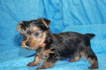 Mario Male CKC Yorkie $2000 Ready 7/25 SOLD MY NEW HOME PONTE VEDRA, FL 1.4 Lbs 5W4D Old