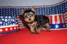 Trudy Female Yorkie Trudy Female Yorkie $1750 Ready 7/10 SOLD! MY NEW HOME TALLAHASSEE, FL 1.8 lbs 6 Weeks Old