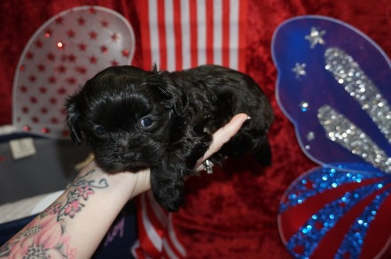 Violet Female CKC Maltipoo $1750 Ready 7/4 HAS DEPOSIT MY NEW HOME SATELLITE Beach 1.8 lbs 4W5D Old