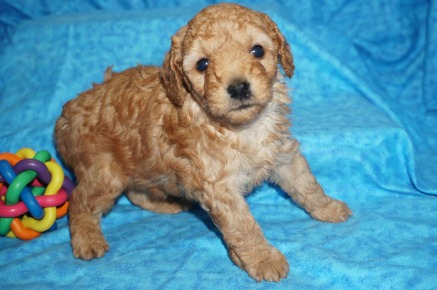 Scooby Doo Male CKC Mini Labradoodle $2000 READY 8/2 AVAILABLE 1.12 lbs 4 Wks Old